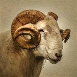 Close up of a Ram with large horns Fotografisk trykk av Mark Gemmell