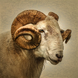 Close up of a Ram with large horns Lámina fotográfica por Mark Gemmell