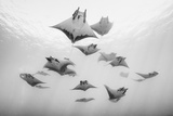 A school of devil rays swim on the water's surface. Fotografie-Druck von Andy Mann