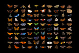 Composite of one hundred different species of butterflies and moths. Photographic Print by Joel Sartore
