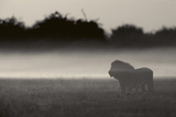 A lion is shrouded in mist, Misty Lion. 写真プリント : ビバリー・ジョーバート