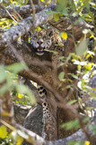 A jaguar resting in a tree in the Pantanal of Mato Grosso Sur in Brazil. 写真プリント : スティーブ・ウィンター