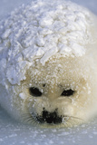 A harp seal pup wakes up with a snowy coat after a snowstorm. Fotografisk trykk av Norbert Rosing