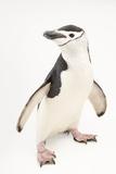 Chinstrap penguins, Pygoscelis antarctica, at the Newport Aquarium. Fotografie-Druck von Joel Sartore