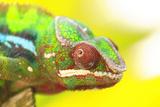 Panther Chameleon, Madagascar, Africa Lámina fotográfica por Stuart Westmorland