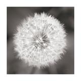 Dandelion Seedhead Poster par Alan Majchrowicz