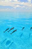 Atlantic Spotted Dolphins, White Sand Ridge, Bahamas, Caribbean Fotografie-Druck von Stuart Westmorland
