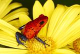 Blue-jeans or Strawberry dart frog Fotografisk trykk av Adam Jones