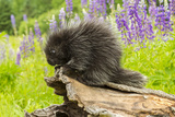 USA, Minnesota, Minnesota Wildlife Connection. captive, young porcupine & lupine Fotoprint van Jaynes Gallery