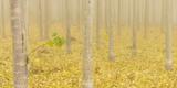 USA, Oregon, Morrow County. Poplar Trees at the Boardman Tree farm. Reproduction photographique par Brent Bergherm