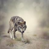 Portrait of Gray Wolf Walking Fotoprint van  abracadabra99