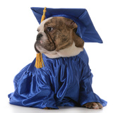 Pet Graduation - English Bulldog Wearing Graduate Costume Fotografie-Druck von Willee Cole