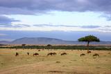 Wildebeest Herd in the Beautiful Plains of the Masai Mara Reserve in Kenya Africa Fotografisk trykk av  OSTILL