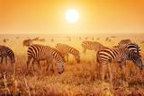 Zebras Herd on Savanna at Sunset, Africa. Safari in Serengeti, Tanzania Reproduction photographique par Michal Bednarek