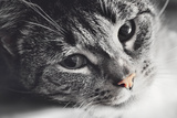 Cute Cat Lying in Lazy, Sleepy Pose Looking at the Camera with its Magnetic Eyes. close Portrait. B Reproduction photographique par Michal Bednarek