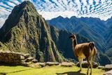Llama at Machu Picchu, Incas Ruins in the Peruvian Andes at Cuzco Peru Fotografisk trykk av  OSTILL