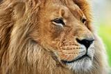 Lion Portrait on Savanna, Safari. Big Adult Lion with Rich Mane. Reproduction photographique par Michal Bednarek