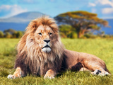 Big Lion Lying on Savannah Grass. Landscape with Characteristic Trees on the Plain and Hills in The Reproduction photographique par Michal Bednarek