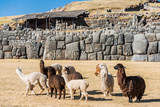 Alpacas at Sacsayhuaman, Incas Ruins in the Peruvian Andes at Cuzco Peru Fotografie-Druck von  OSTILL