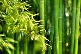 Asian Bamboo Forest with Morning Sunlight Fotografisk trykk av  Sofiaworld