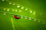 Ladybug And Waterdrops Photographic Print by  silver-john