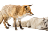Red Fox, Vulpes Vulpes, Standing and Arctic Fox, Vulpes Lagopus, Lying, Isolated on White Fotografie-Druck von Life on White