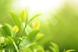 Green Tea Bud and Leaves.Shallow Dof. Fotografie-Druck von Liang Zhang