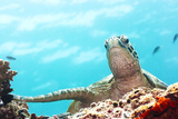Green Turtle Underwater Close-Up. Sipadan. Celebes Sea Fotografisk trykk av  GoodOlga