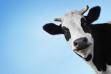 Funny Smiling Black And White Cow On Blue Clear Background Fotografie-Druck von Dudarev Mikhail