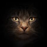 Cat Face With Beautiful Eyes Close Up Portrait Reproduction photographique par Michal Bednarek