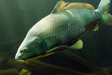 Underwater Photo Big Carp (Cyprinus Carpio) In Bolevak Pond - Famous Anglig And Diving Place Fotografie-Druck von  Kletr