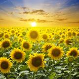 Summer Landscape: Beauty Sunset over Sunflowers Field Fotografisk trykk av  nadiya_sergey