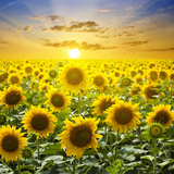 Summer Landscape: Beauty Sunset over Sunflowers Field Photographic Print by  nadiya_sergey