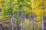 Aspen Grove in Santa Fe National Forest in Autumn Fotografie-Druck von  forestpath