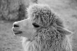 An Alpaca Fotografie-Druck von  meunierd