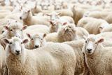 Herd of Sheep Fotografisk trykk av  DmitryP