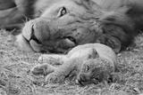 Cute Lion Cub Resting With Father Kunst von  Donvanstaden