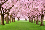 Gourgeous Cherry Trees In Full Blossom Poster von  Smileus