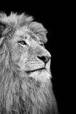 Black And White Isolated Lion Face Láminas por  Snap2Art