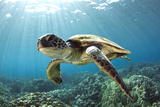Hawaiian Green Sea Turtle Fotografie-Druck von Swims with Fish