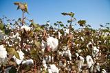 Close up of Cotton Plants Fotografisk trykk av  Lamarinx