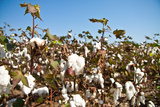 Close up of Cotton Plants Photographic Print by  Lamarinx