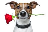 Dog with a Red Rose Valokuvavedos tekijänä Javier Brosch