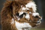 Calico Llama Alpaca Face close Up Fotografie-Druck von  BILLPERRY