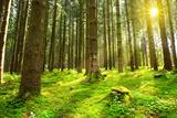 Sunlight in Forest. Fotografie-Druck von  swkunst
