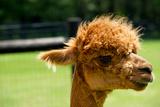 Alpaca Portrait Fotografie-Druck von  kayglobal