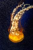 Orange Jellyfish on the Dark Background Fotografie-Druck von  Alex9500