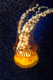 Orange Jellyfish on the Dark Background Lámina fotográfica por  Alex9500