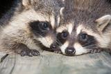 Tw Baby Raccoon Lámina fotográfica por  EEI_Tony