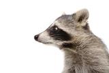 Portrait of a Raccoon in Profile Lámina fotográfica por  Sonsedskaya